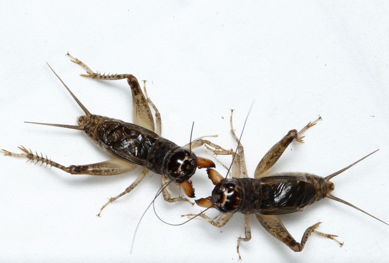 Photos: Cricket Fighting, The UFC Of The Insect World