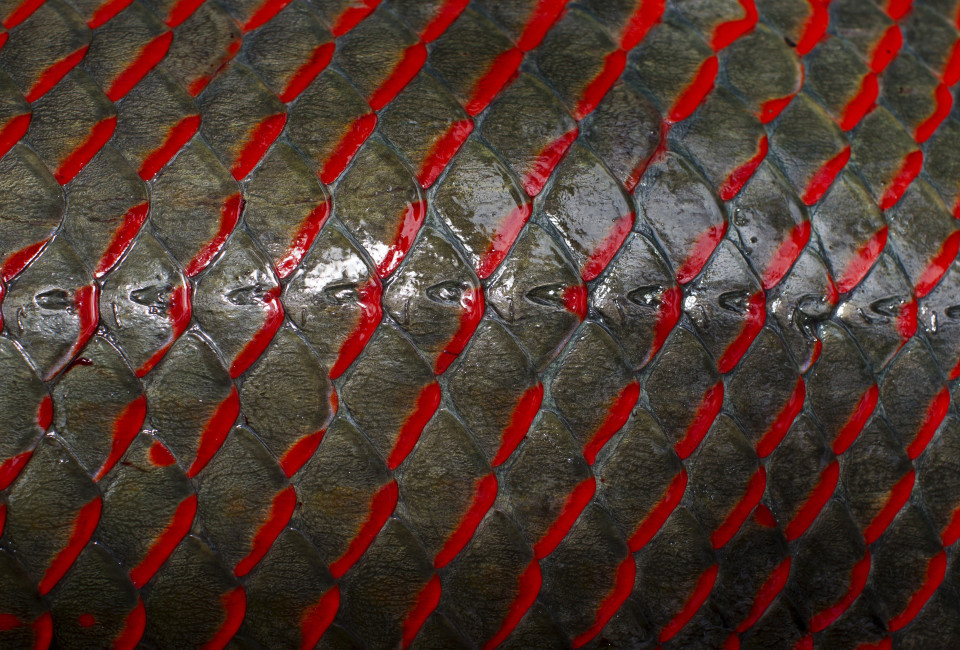 The skin of an arapaima or pirarucu, the largest freshwater fish species in South America and one of the largest in the world, is pictured after being fished by villagers from the Rumao Island community out of a branch of the Solimoes river, one of the main tributaries of the Amazon, in the Mamiraua nature reserve near Fonte Boa, about 600 km (373 miles) west of Manaus, November 24, 2013.  Catching the arapaima, a fish that is sought after for its meat and is considered by biologists to be a living fossil, is only allowed once a year by Brazil's environmental protection agency. The minimum size allowed for a fisherman to keep an arapaima is 1.5 meters (4.9 feet). Picture taken November 24, 2013. REUTERS/Bruno Kelly (BRAZIL - Tags: ENVIRONMENT SOCIETY ANIMALS)  ATTENTION EDITORS: PICTURE 15 OF 22 FOR PACKAGE 'FISHING FOR BRAZIL'S FOSSILS'. TO FIND ALL IMAGES SEARCH 'ARAPAIMA KELLY' - RTX16GRZ