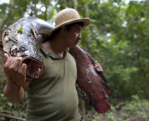 Villager Edson de Souza from the Rumao Island community carries an arapaima or pirarucu, the largest freshwater fish species in South America and one of the largest in the world, while fishing in a branch of the Solimoes river, one of the main tributaries of the Amazon, in the Mamiraua nature reserve near Fonte Boa about 600 kms (373 miles) west of Manaus, November 24, 2013. Catching the arapaima, a fish that is sought after for its meat and is considered by biologists to be a living fossil, is only allowed once a year by Brazil's environmental protection agency. The minimum size allowed for a fisherman to keep an arapaima is 1.5 meters (4.9 feet). Picture taken November 24, 2013. REUTERS/Bruno Kelly (BRAZIL - Tags: ENVIRONMENT SOCIETY ANIMALS) - RTX16GS4