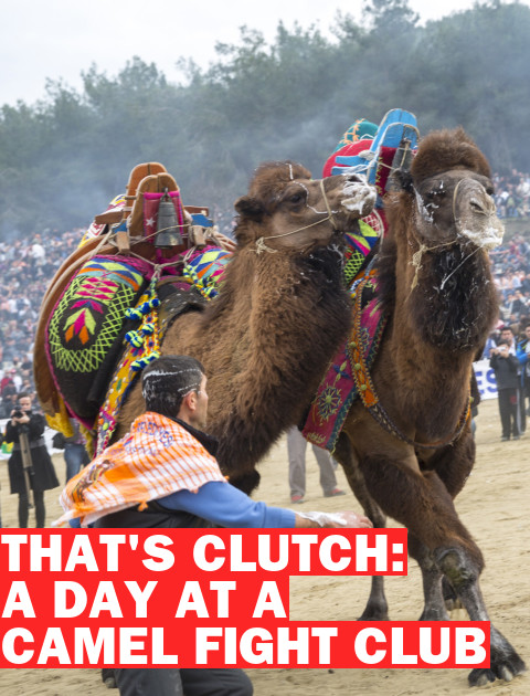 A Day at Camel Fight Club