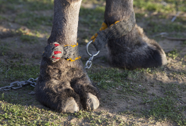 Camels can be ornery and so owners tie them by the feet to prevent them from running or kicking during the Selcuk Efes Camel Wrestling Festival. One legendary camel injured one owner, only to be sold to another, who got killed when his camel sat on him. Photo by Jodi Hilton/Vocativ
