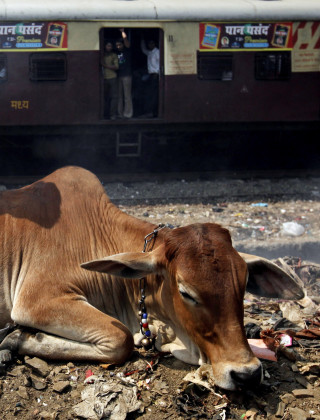 The Short, Unhappy Life of a Cow in India