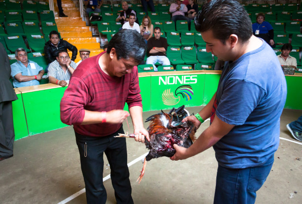 David Carlos Cruz removes the razor from one of his roosters who just died in his first match.