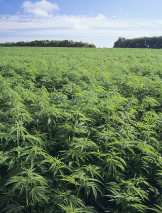 america needs to be growing more hemp