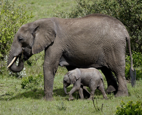 A baby elephant walks next to its mother in Masai Mara.