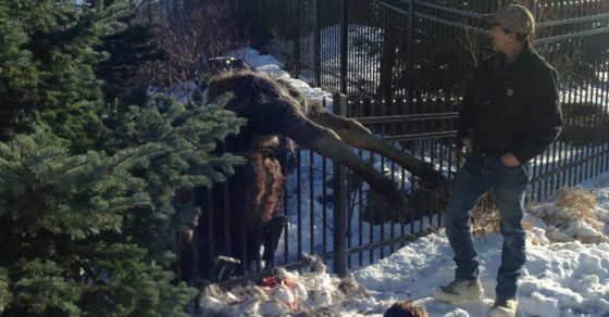 Alaskan Suicide Moose Can't Stop Goring Themselves on Fences