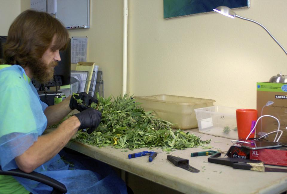 cannabis jobs - trimmer