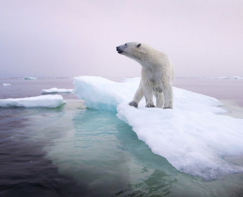 12 Jul 2012, Churchill, Manitoba, Canada --- Canada, Manitoba, Churchill, Polar Bear (Ursus maritimus) standing on melting ice floe on summer evening --- Image by © Paul Souders/Corbis