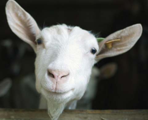 Goat looking at camera --- Image by © Odilon Dimier/PhotoAlto/Corbis
