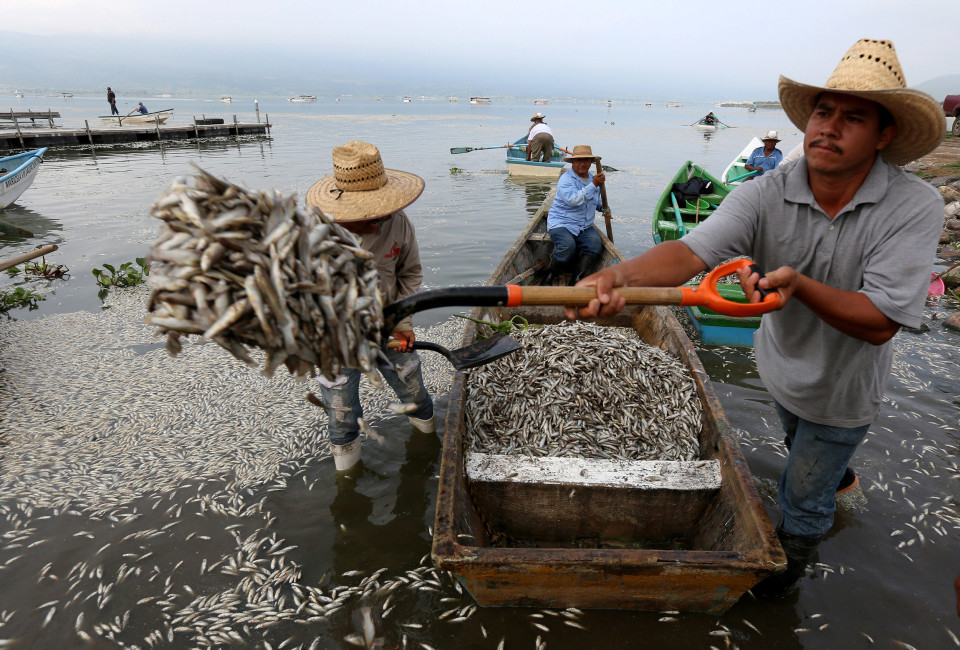 Fishermen, firefighters, and Agriculture, Cattle, Rural Development, Fish and Food Secretary personnel collaborate in the cleaning of dead fish in the Cajititlan lake.Close to 50 tons of fishes have died over the last six days from unknown causes, for which the Mexican State Attorney for Environmental Protection (Proepa) triggered an environmental contingency in the area.