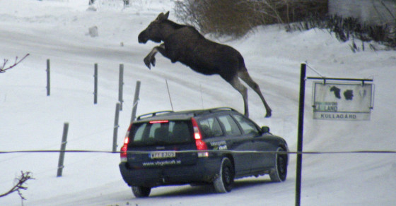 Drunk Swedish Moose Epidemic Defies Science