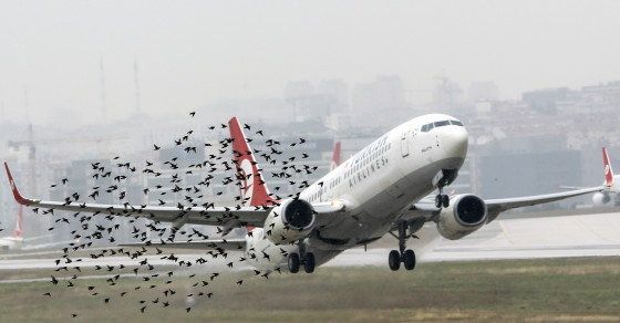 Why Birds Keep Crashing Into Cars And Planes