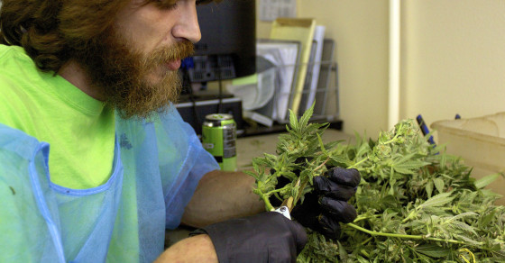 Jobs in the Weedconomy: The Trimmer
