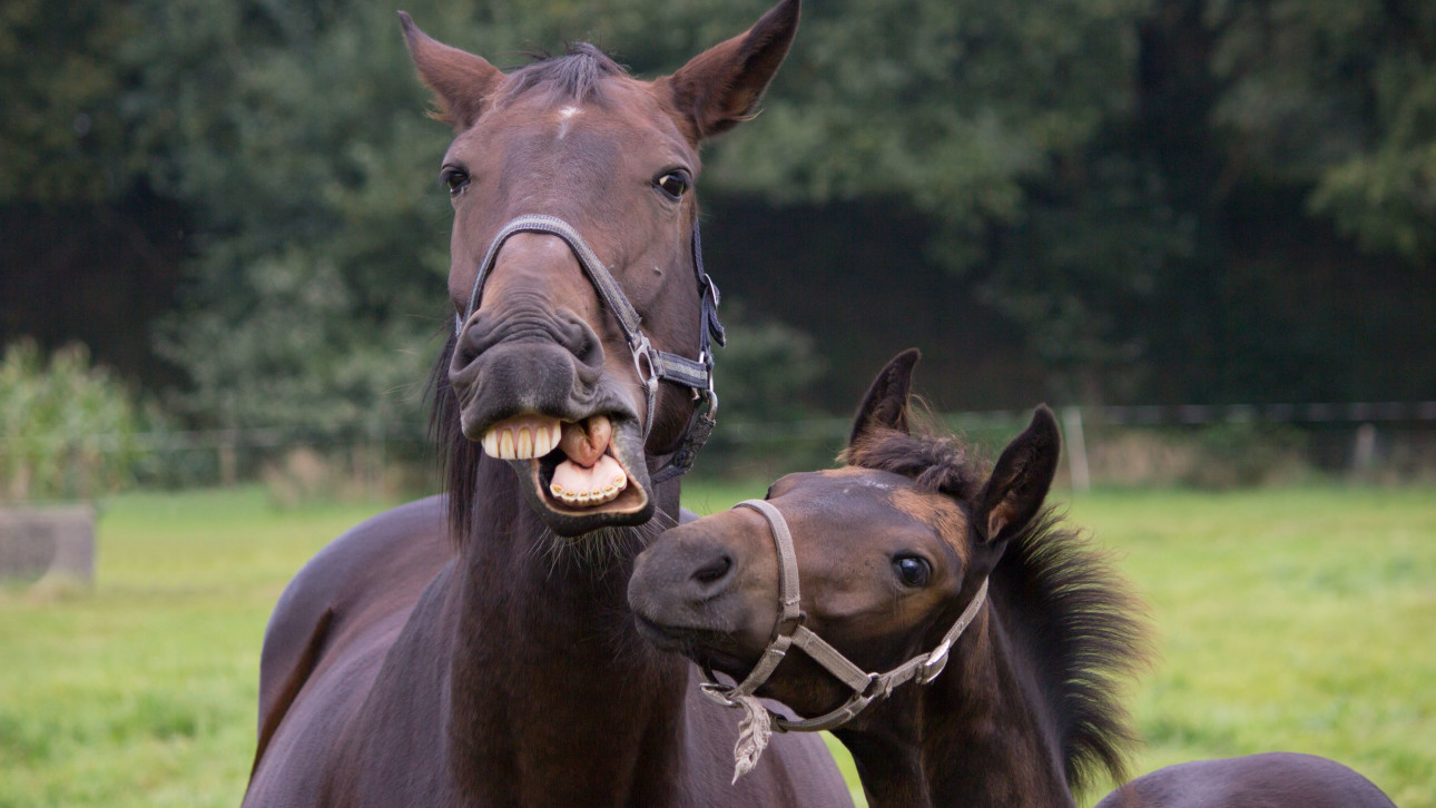Uncategorized Smiling Horse can horses smile vocativ science
