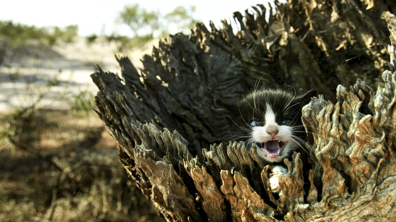 feral cats in australia 2015-7-18  the australian government has announced plans to systematically kill about two million feral cats over the next five years, in an effort to curb the detrimental effects that feline predators have on other species.