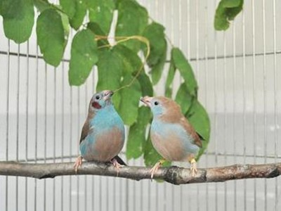 Songbirds Woo Mates With Fast-Moving Tap Dance