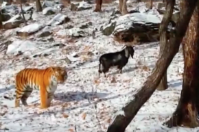 Tiger Befriends A Goat He Was Supposed To Eat