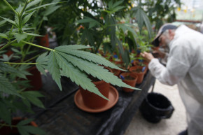 New Yorkers Can Now Buy Kosher Weed