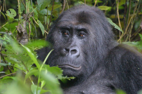 World's Largest Gorillas Are Another Victim Of War