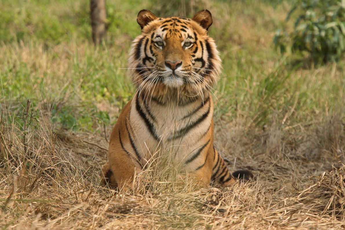 tiger recovery called into question by biologists vocativ