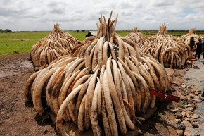 Kenya To Take Part In Historic Ivory Burn