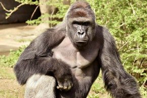 'Justice For Harambe': Outrage Swells Over Gorilla Killling
