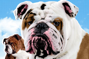 The Poor English Bulldog Is A Doomed Genetic Trainwreck