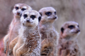 Meerkats, Sea Lions, Chinchillas Top List Of Murderous Mammals
