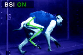 Paralyzed Monkeys Walk With Help Of Neural Interface