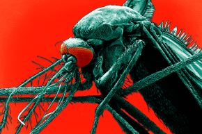 Genetically Modified Mosquitoes Receive A Key Go-Ahead In Florida