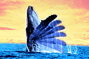 Humpback Whales Are Actually Talking To Each Other With Their Tails