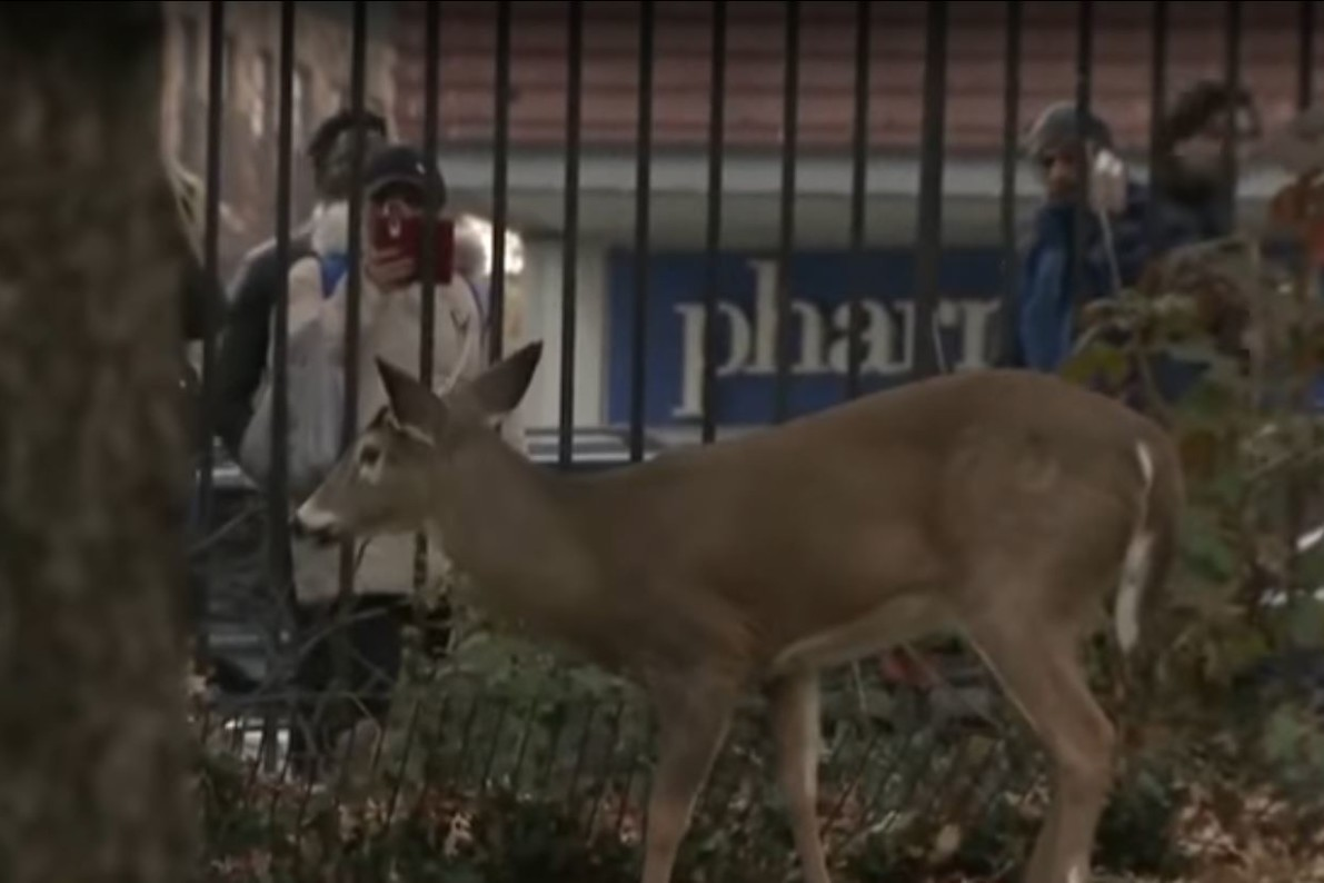 City, State At Odds Over Fate Of Harlem Deer