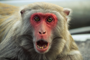 Monkeys May Have The Mouths To Talk, Just Not The Brains