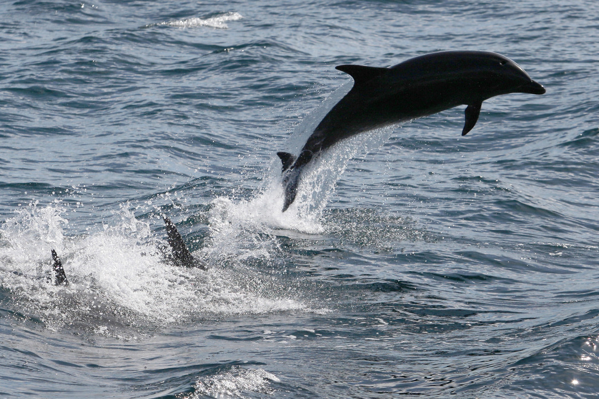 navy trained dolphins to help their endangered porpoise friends
