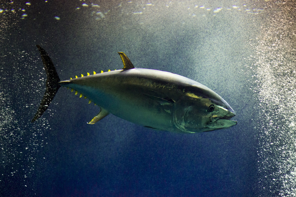 Would you spend $632000 on a Bluefin tuna? He just did