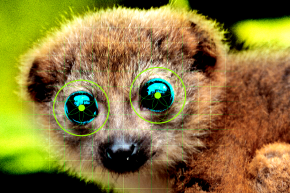 Scientists Built A Face Recognition System For Lemurs