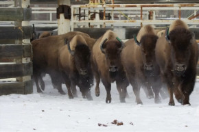Bison Are Back In Canadian National Park After 140 Year Absence