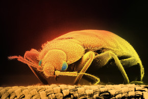We're Losing The Arms Race Against Bed Bugs