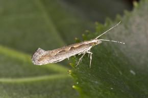 Genetically Engineered Moths May Soon Be Released In New York