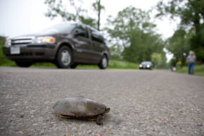 Town Bands Together To Save Turtles From Deadly Road