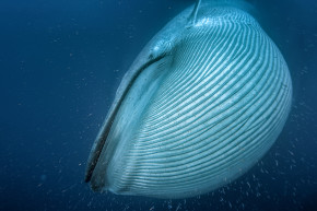 Are Some Whales Just Too Big To Survive Climate Change?