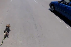Dodging Cars And Danger For A Determined Dog