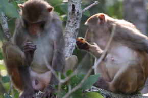 Wild Monkeys Run Amok In Central Florida