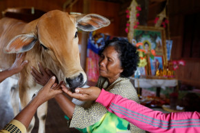 Is This Cow A Woman's Reincarnated Husband?