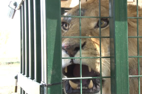 Animals Rescued From Abandoned Syrian Zoo
