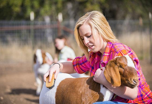2013 Boer show goat in Texas