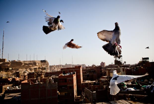 Pigeon Breeders 08