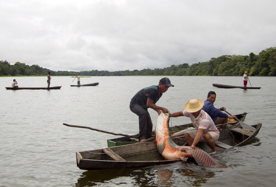 Villagers from the Porto Novo community load into their canoes arapaima or pirarucu, the largest freshwater fish species in South America and one of the largest in the world, while fishing in Poco Fundo lake along a branch of the Solimoes river, one of the main tributaries of the Amazon, in the Mamiraua nature reserve near Fonte Boa about 600 km (373 miles) west of Manaus, November 26, 2013.  Catching the arapaima, a fish that is sought after for its meat and is considered by biologists to be a living fossil, is only allowed once a year by Brazil's environmental protection agency. The minimum size allowed for a fisherman to keep an arapaima is 1.5 meters (4.9 feet). Picture taken November 26, 2013. REUTERS/Bruno Kelly (BRAZIL - Tags: ENVIRONMENT SOCIETY ANIMALS)  ATTENTION EDITORS: PICTURE 09 OF 22 FOR PACKAGE 'FISHING FOR BRAZIL'S FOSSILS'. TO FIND ALL IMAGES SEARCH 'ARAPAIMA KELLY' - RTX16GS9