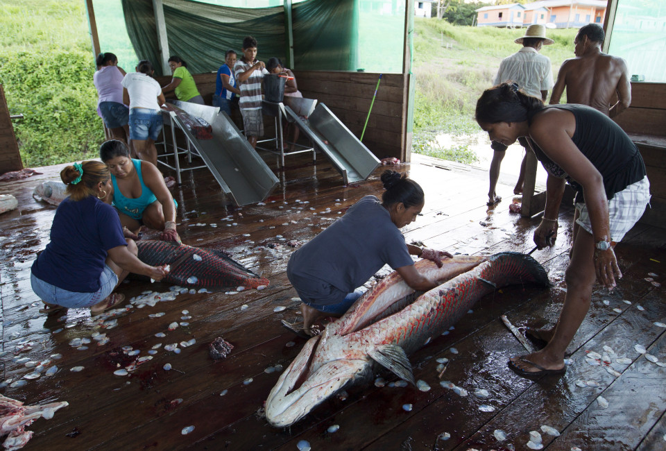 Villagers from the Sao Raimundo do Jaraua community clean their day's catch of arapaima or pirarucu, the largest freshwater fish species in South America and one of the largest in the world, after fishing along a branch of the Solimoes river, one of the main tributaries of the Amazon, in the Mamiraua nature reserve near Fonte Boa, about 600 km (373 miles) west of Manaus, November 27, 2013. Catching the arapaima, a fish that is sought after for its meat and is considered by biologists to be a living fossil, is only allowed once a year by Brazil's environmental protection agency. The minimum size allowed for a fisherman to keep an arapaima is 1.5 meters (4.9 feet). Picture taken November 27, 2013. REUTERS/Bruno Kelly (BRAZIL - Tags: ENVIRONMENT SOCIETY ANIMALS)  ATTENTION EDITORS: PICTURE 18 OF 22 FOR PACKAGE 'FISHING FOR BRAZIL'S FOSSILS'. TO FIND ALL IMAGES SEARCH 'ARAPAIMA KELLY' - RTX16GRY