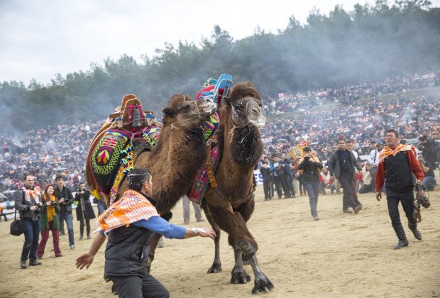 A couple of heavily decorated male camels tussle during the opening moments of the Selcuk Efes Camel Wrestling Festival, when photographers were allowed in the ring.  Photo by Jodi Hilton/Vocativ